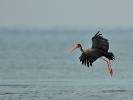 Μαυροπελαργός / Black Stork (Ciconia nigra) (C. Vlahos)