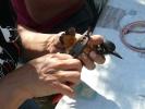 Δακτυλίωση πουλιού, Δέλτα Έβρου 2009 / Ringing bird Evros Delta 2009 (E. Stets)