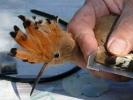 Δακτυλίωση πουλιού, Δέλτα Έβρου 2009 / Bird ringing Evros Delta 2009 (E. Stets)