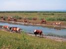 Βόσκηση βοοειδών / Cattle grazing (A. Athanasiadis)