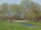 Βόσκηση προβάτων / Sheep grazing  (E. Stets)