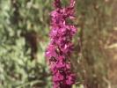 Ορχιδέα / Orchid (A. Athanasiadis)