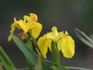 Ίριδα / Iris (A. Athanasiadis)