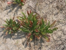 Αμμοθινική βλάστηση / Dunes vegetation (A. Athanasiadis)