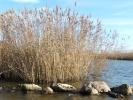 Καλαμιές στον Δυτικό Βραχίονα / Reeds by the Western Branch (E. Makrigianni)