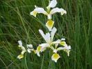 Ίριδα / Iris (E. Stets)