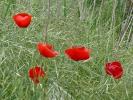Παπαρούνες / Poppies (E. Stets)